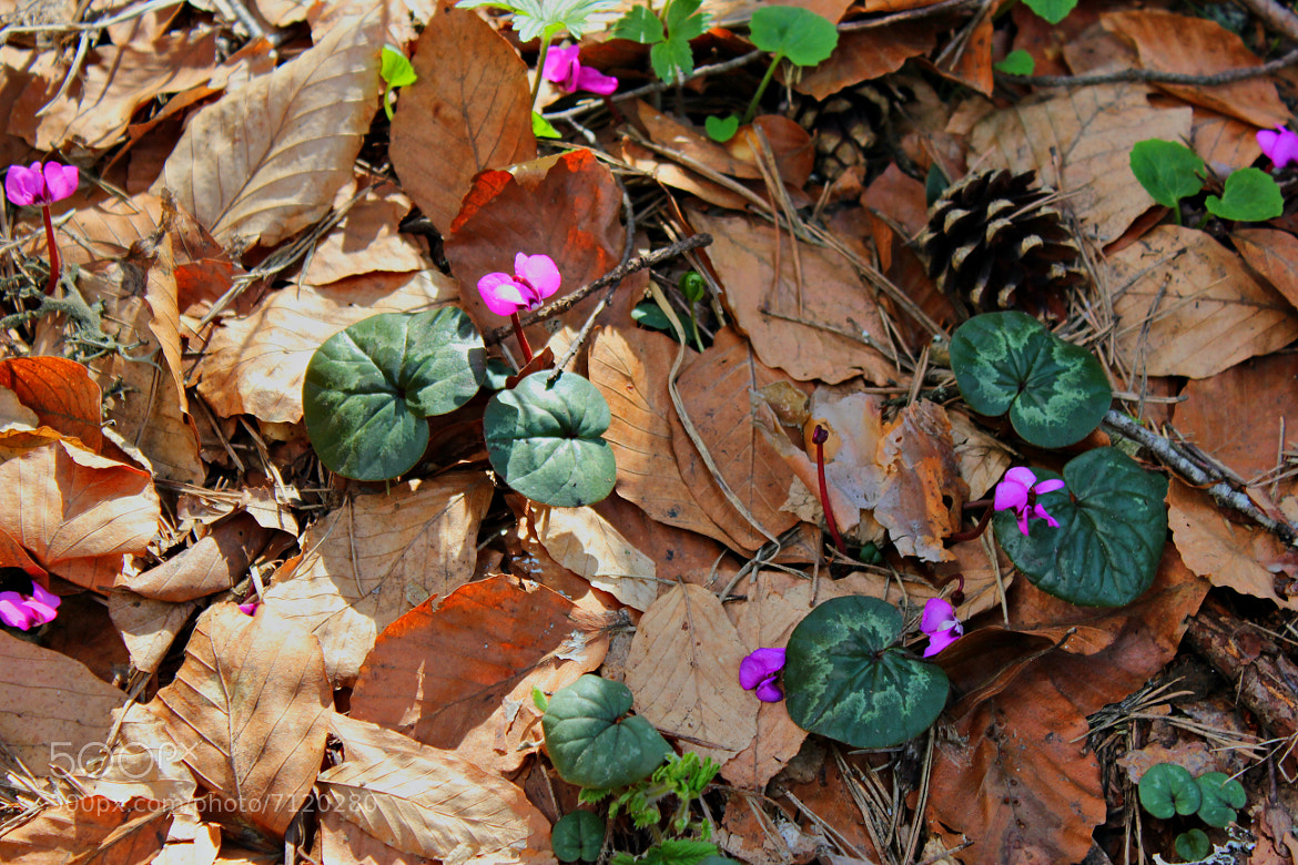 Photograph Cyclamen and dry leaves by zen free on 500px
