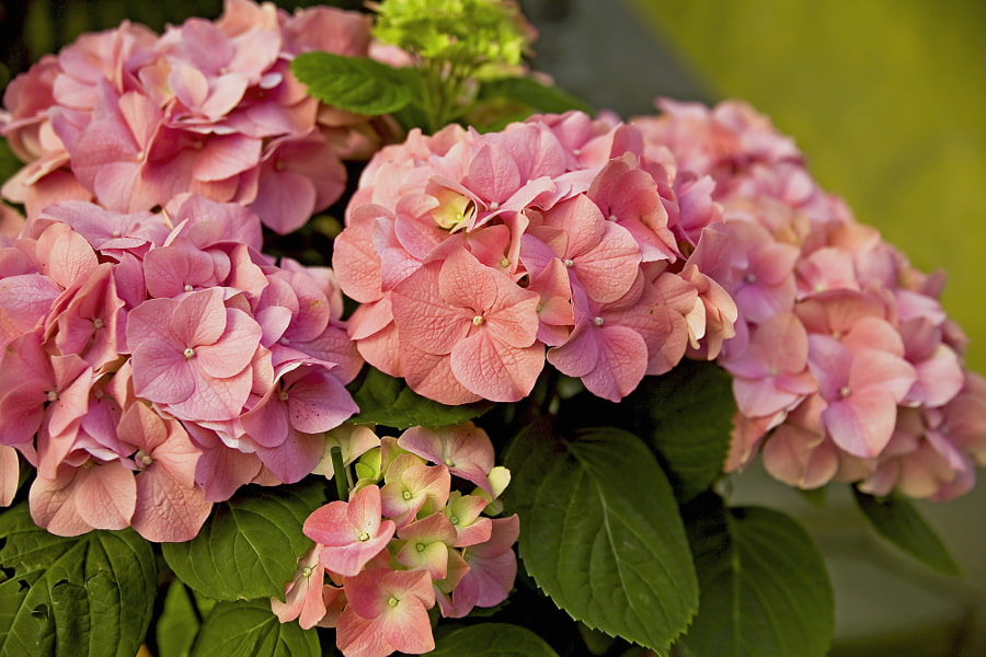 Hydrangea by Marie-Louise Titze on 500px.com