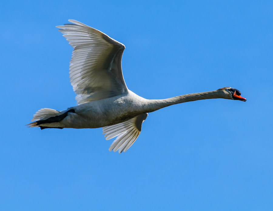 Caught the Swan Flying past me ready to land in the pond.