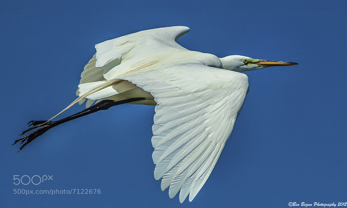 Photograph Great Egret in Flight by Ben Begun on 500px