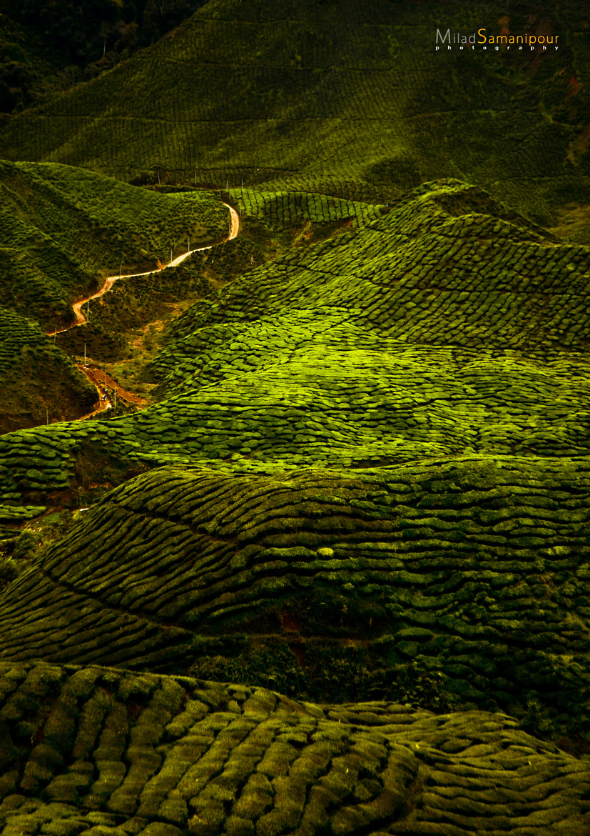 Photograph Green Road (Cameron Highlands) by Milad Samanipour on 500px