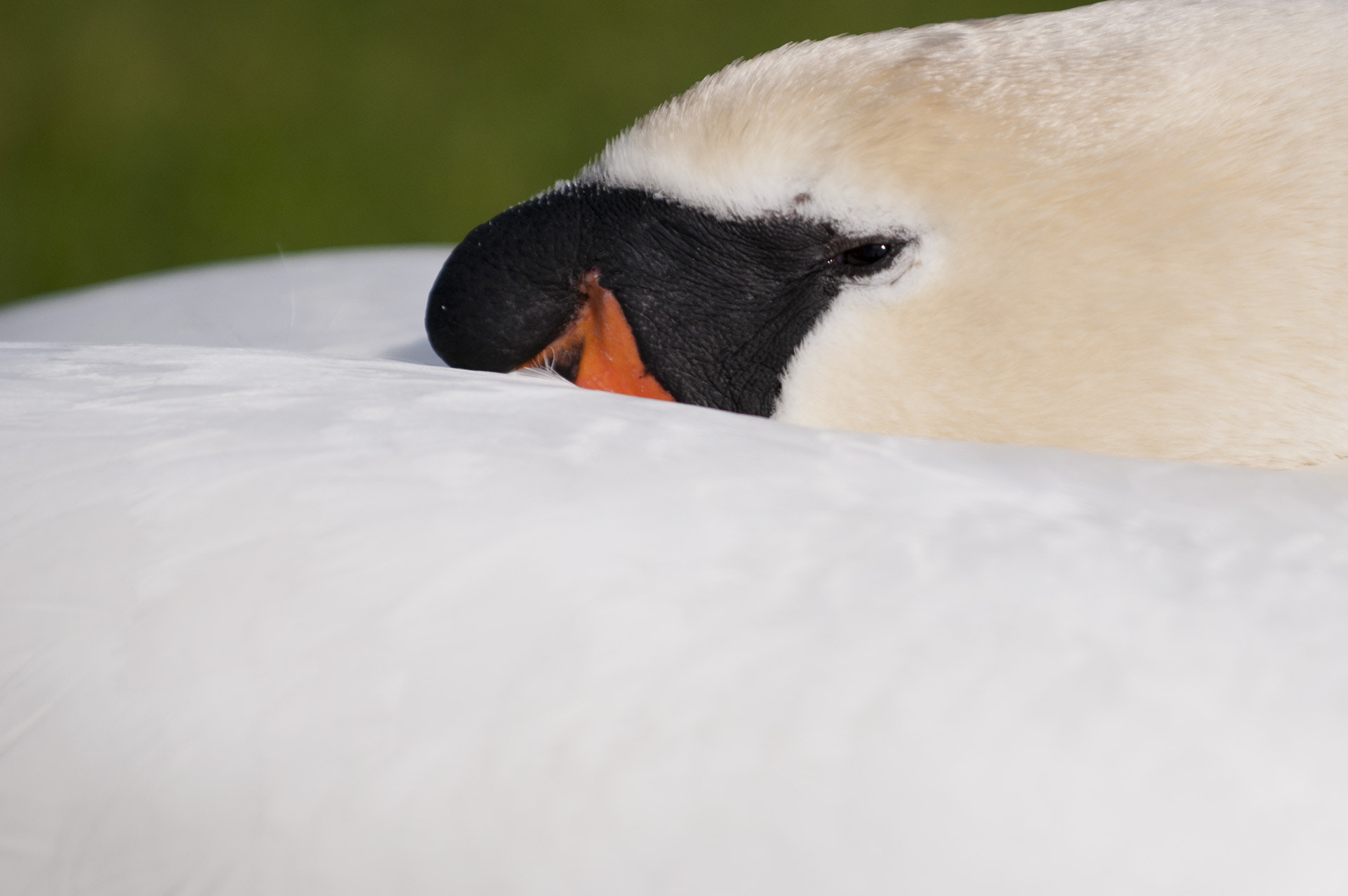 Photograph Mute Swan close up profile by Graham Hush on 500px