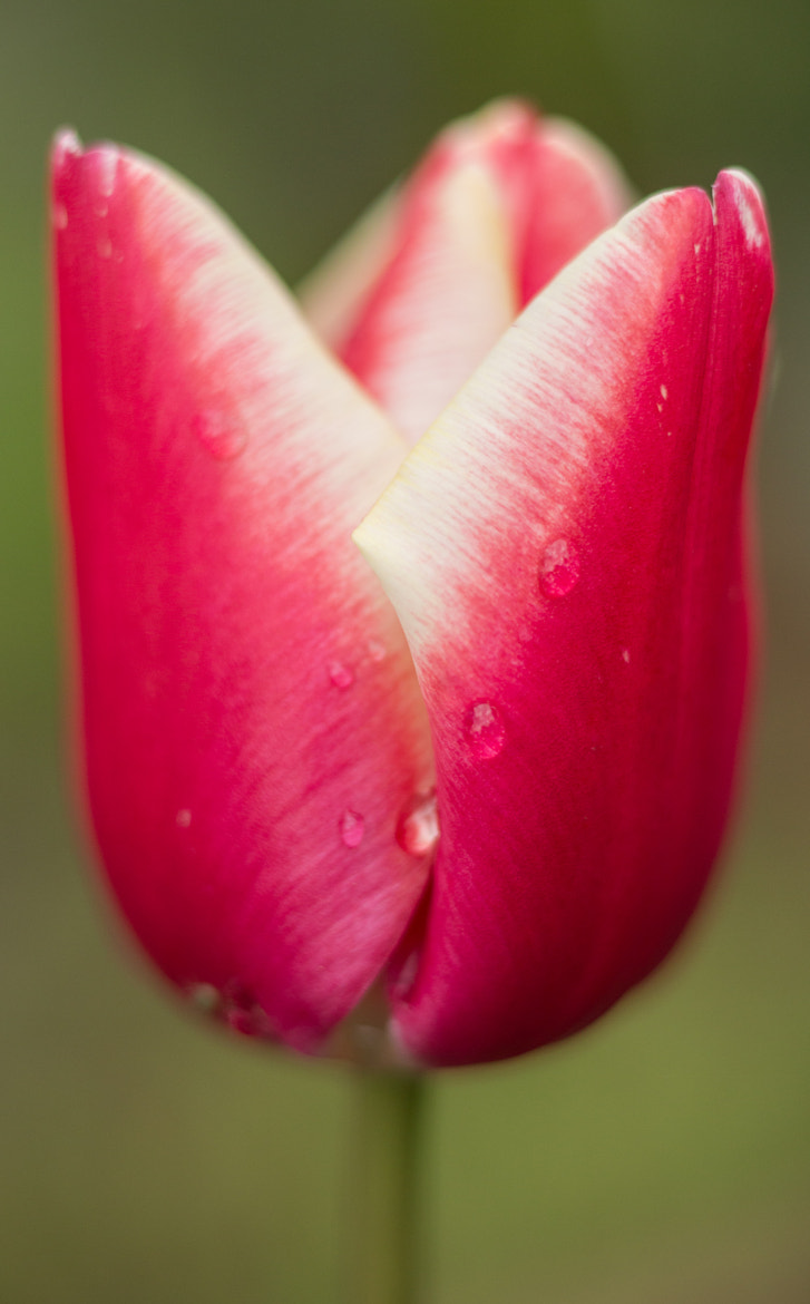 Photograph Tulip by Joseph Calev on 500px