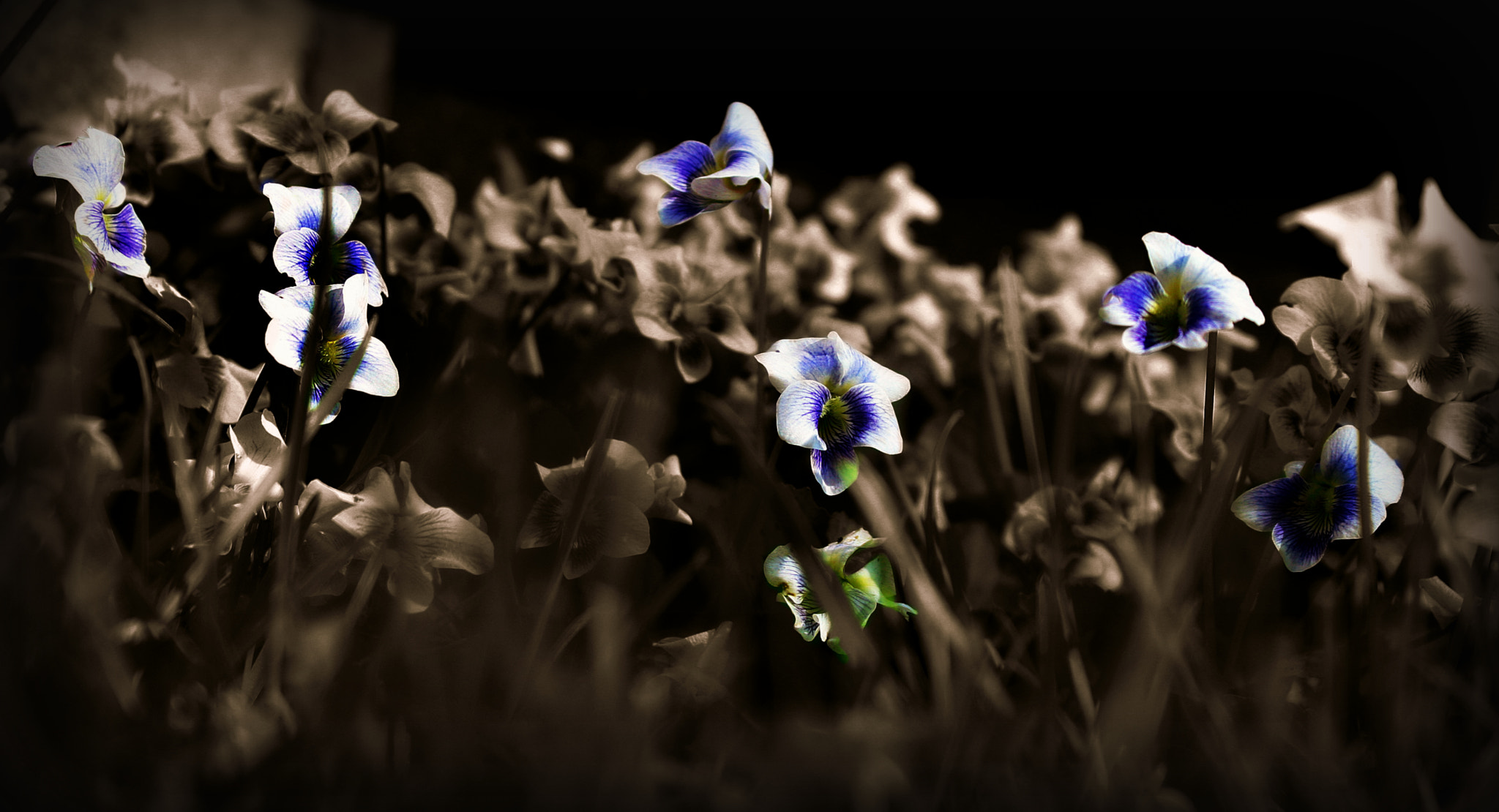 Photograph Pansies by Yazmine Hawkins on 500px