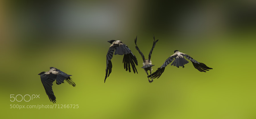 four crow leaving each other each in a direction