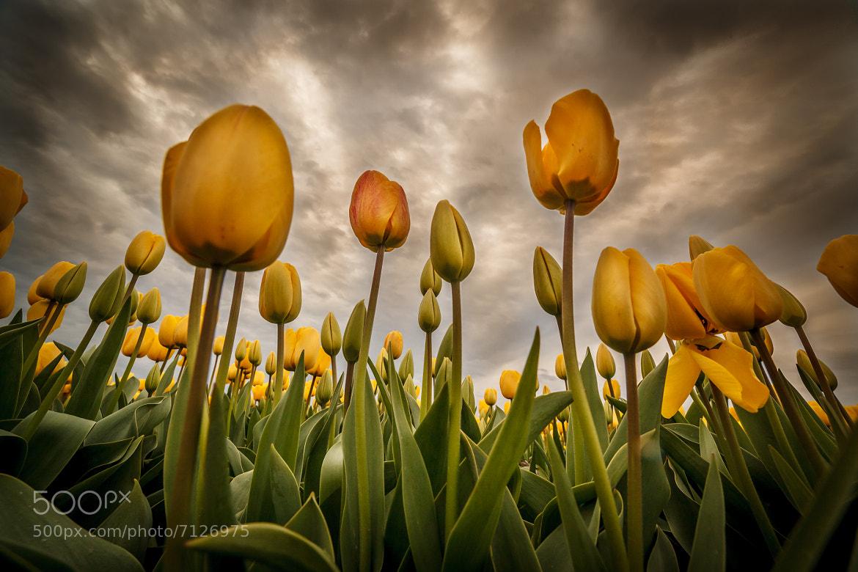 Photograph Yellow Tulips by Edwin van Wijk on 500px