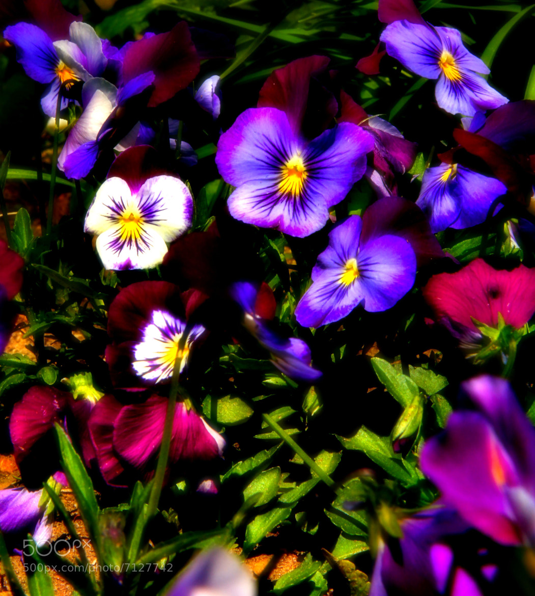 Photograph Pansie... by Johnny Gomez on 500px