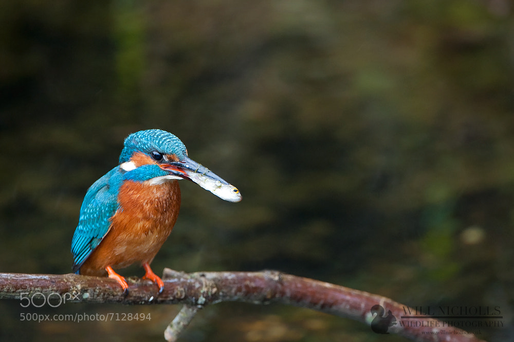 Photograph Kingfisher by Will Nicholls on 500px