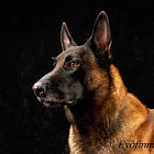 ������, ������: Pure breed malinois on black background