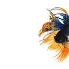 ������, ������: siamese fighting fish