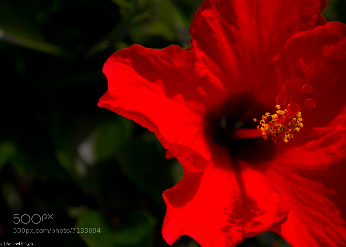 Photograph Red Hibiscus by Jason Johnson on 500px