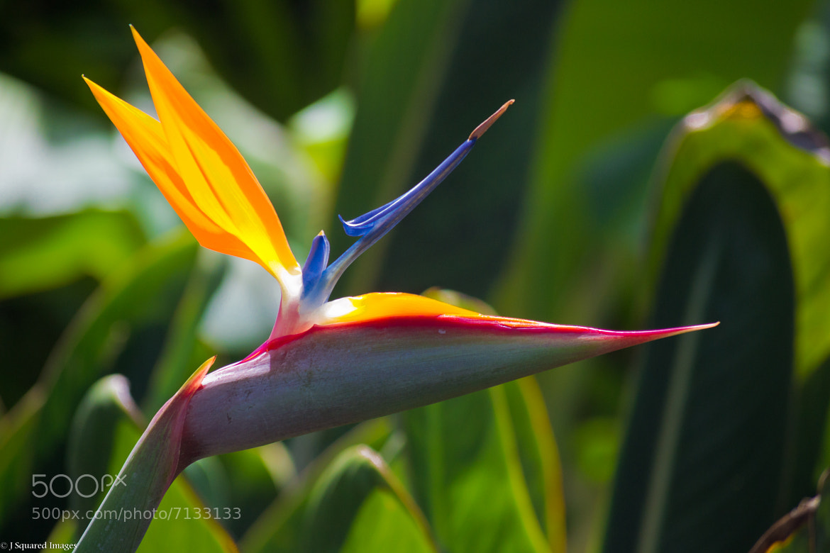 Photograph Bird of Paradise by Jason Johnson on 500px
