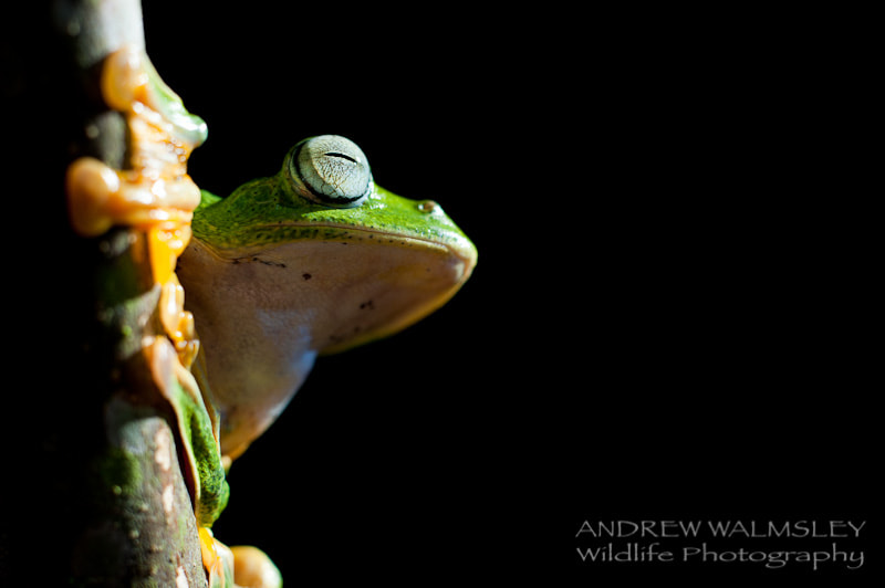 Photograph ribbit by Andrew Walmsley on 500px
