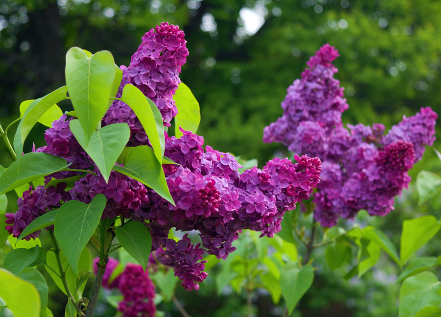 Rochester Lilacs - 2014 by Chris Reddy on 500px.com