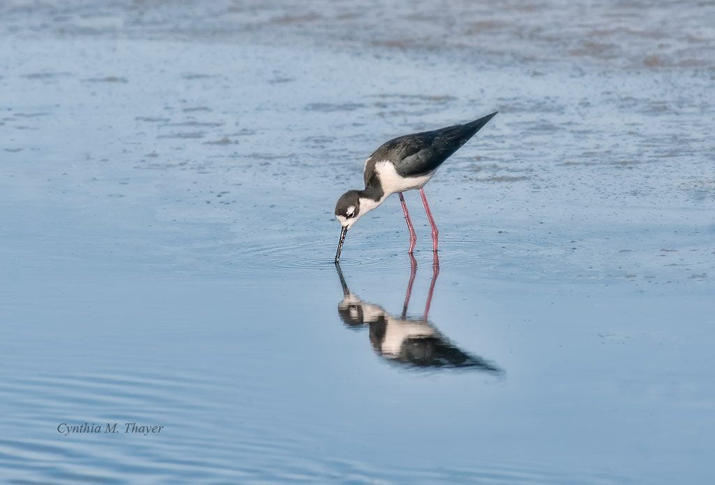 Photograph Black Necked Stilt at Baylands by Cynthia Mathre Thayer on 500px