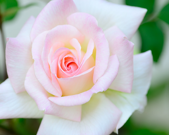 Photograph Pink Rose by Dean Larres on 500px
