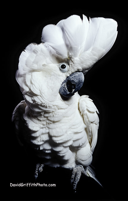 Photograph Cockatoo by David Griffith on 500px