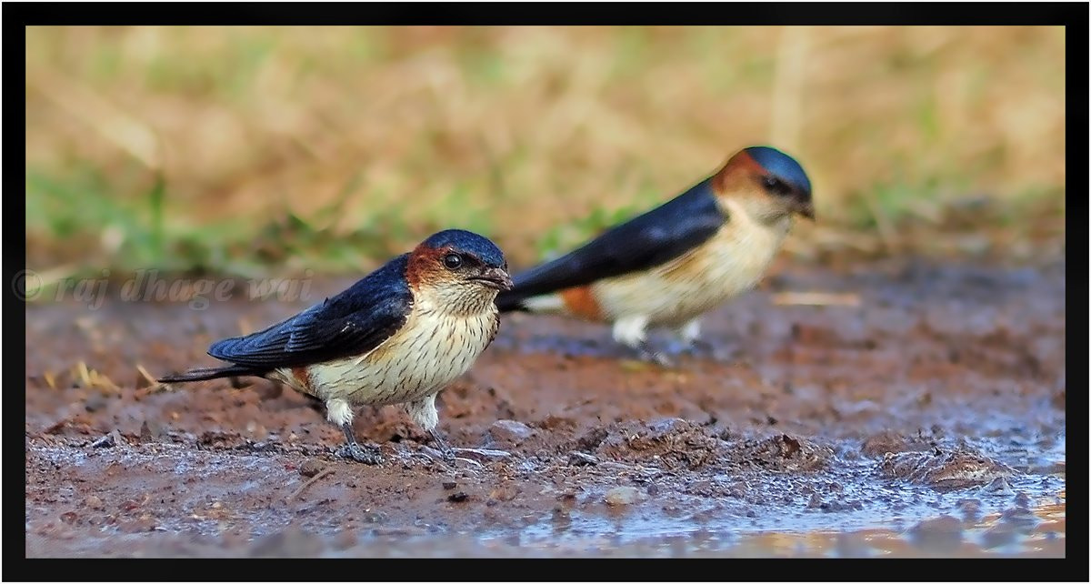 Photograph  Red rumped swallows by Raj Dhage on 500px