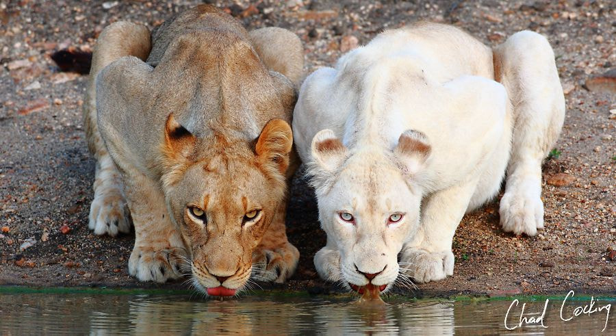 Photograph White Lions of the Timbavati by Chad Cocking on 500px
