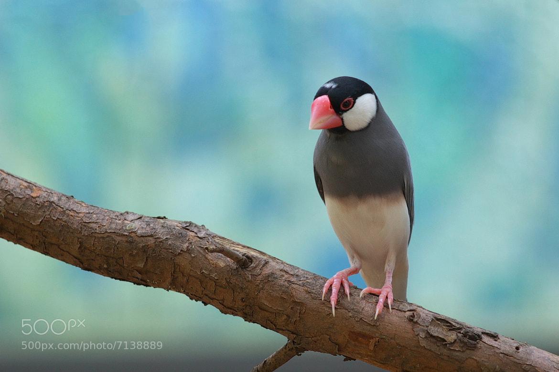 Photograph Java Sparrow by Tashi_Delek Nakata on 500px