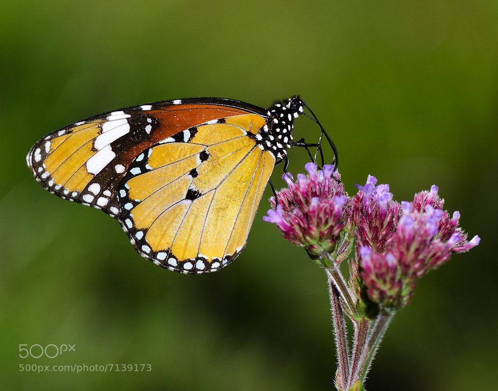 Photograph African Monarch Butterfly by Elaine  de Bruin on 500px