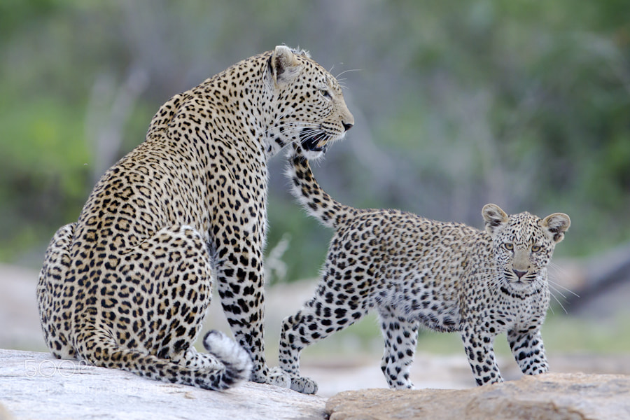 Photograph Mother and cub by Kurt Jay Bertels on 500px