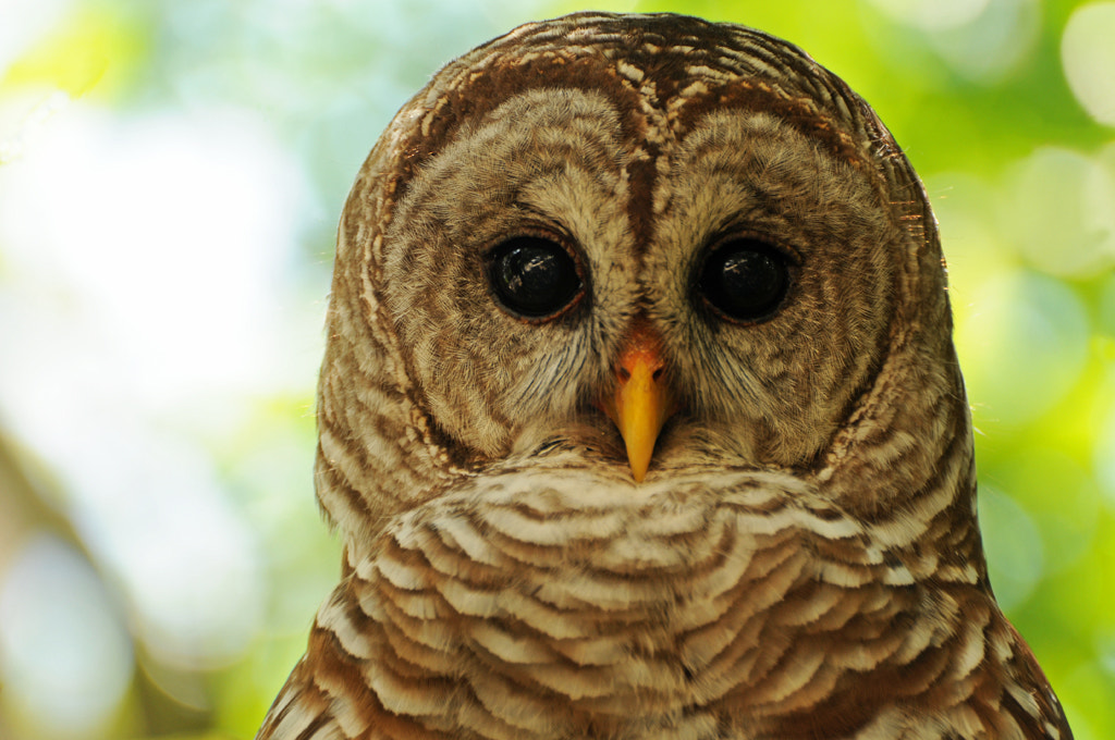 Photograph Barred Owl by Michael Skelton on 500px
