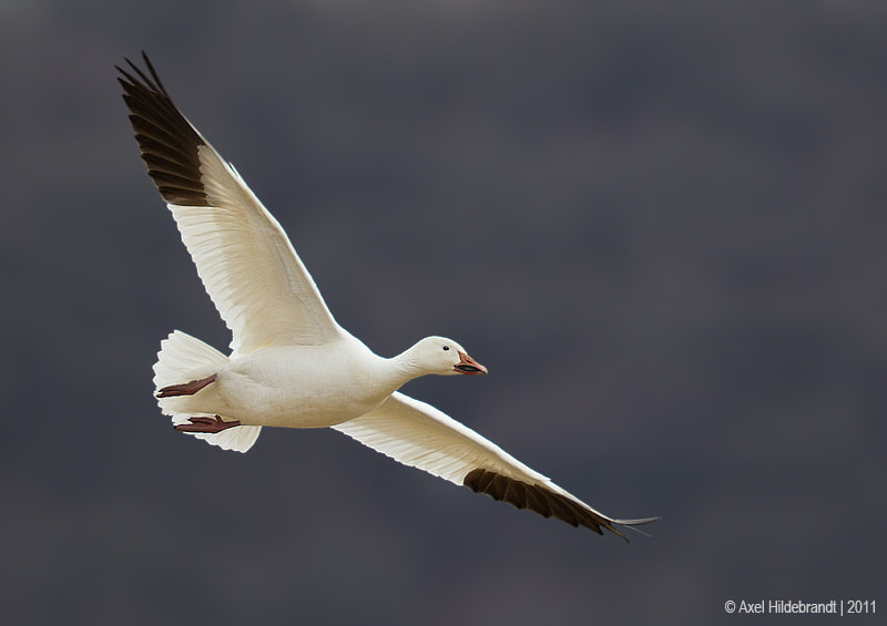 Photograph Snow Goose by Axel Hildebrandt on 500px