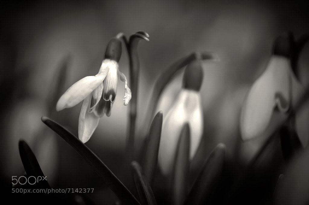 Photograph Snow drops by Mikael Sjösten on 500px