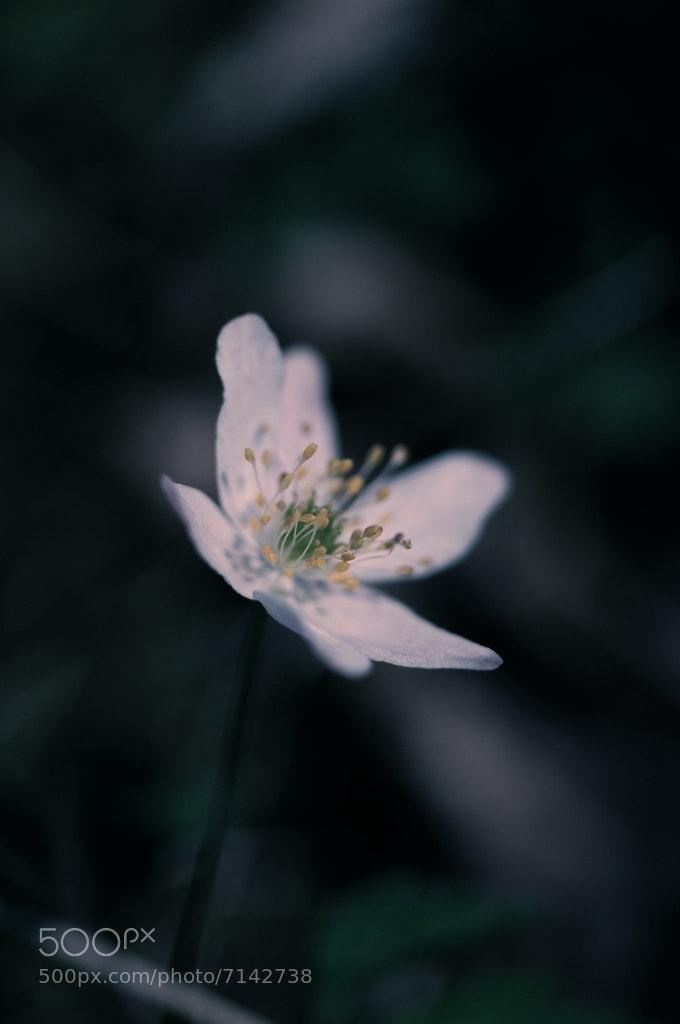 Photograph Wood anemone... by Almqvist Photo on 500px