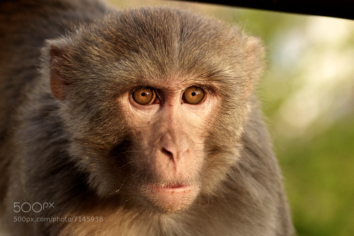 Photograph Rhesus temple monkey. by Jethro Stamps on 500px