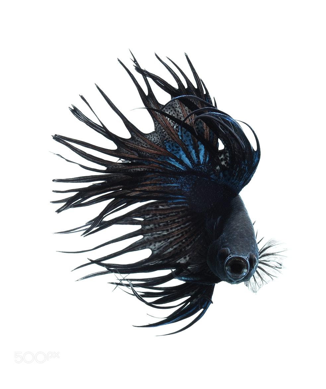 Photograph BLACK BETTA FISH  by visarute angkatavanich on 500px