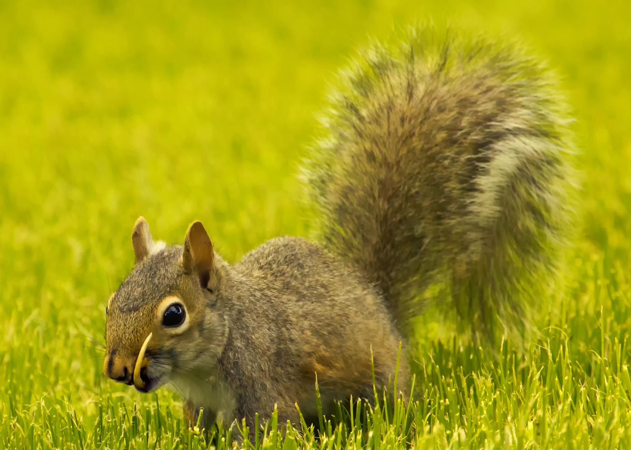 Photograph Snaggletooth Squirrel in Grass by Bill Tiepelman on 500px