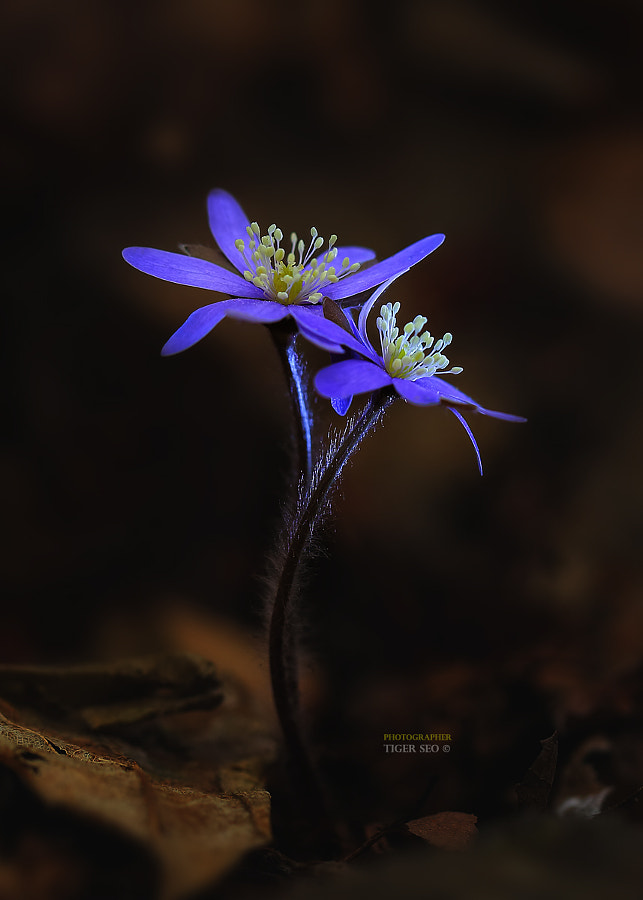 Photograph Blue_hepatica by Tiger Seo on 500px