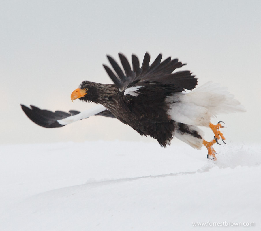 Photograph Steller's Sea Eagle by Forrest Brown on 500px