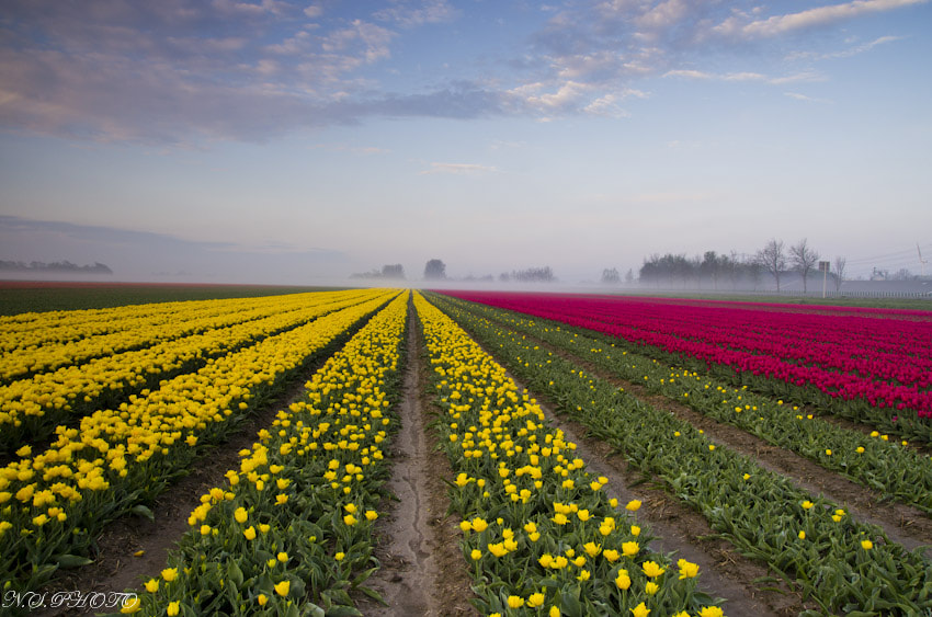 Photograph field of tulips by Nestor Santos on 500px