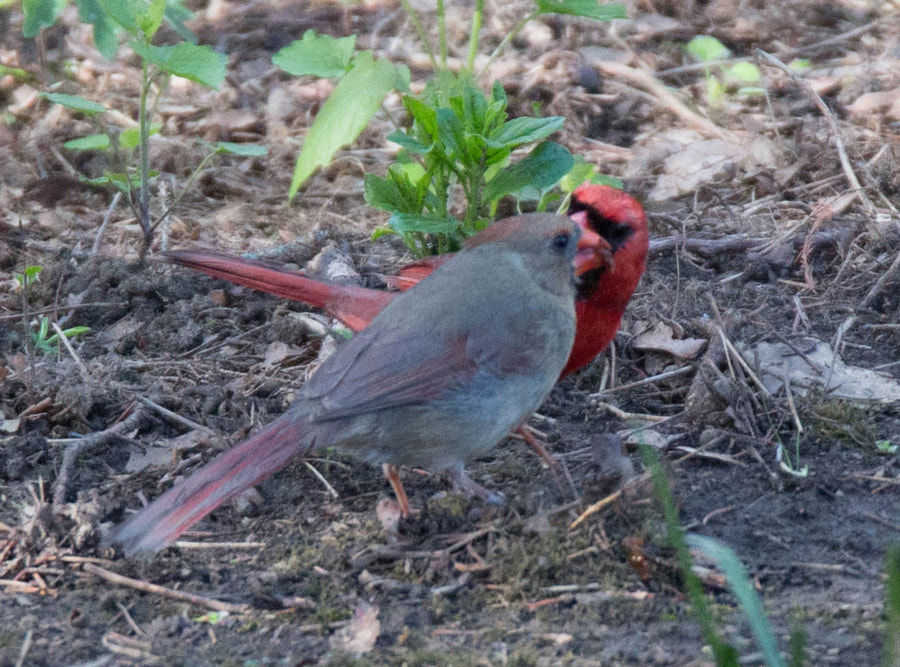 Female and male cardinals sharing a meal