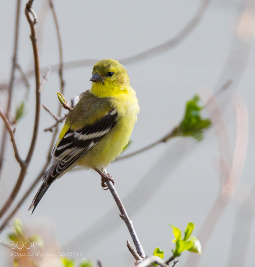 Goldfinch in a tree turning to look over his shoulder