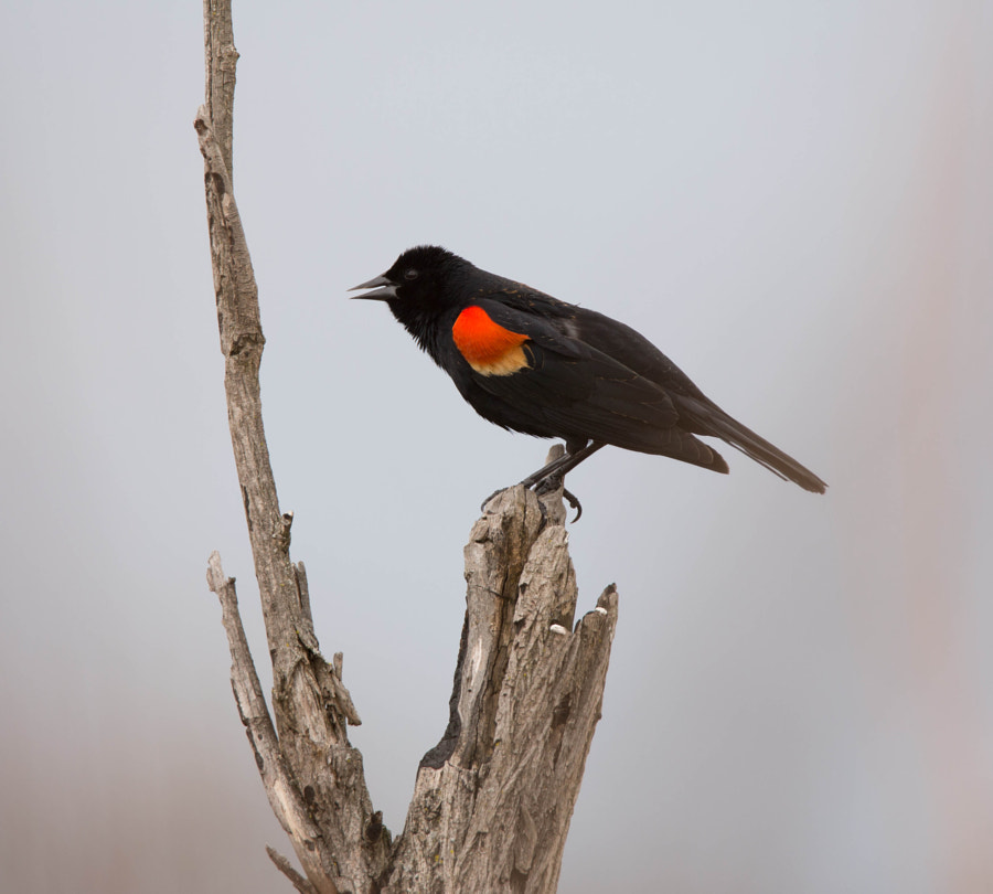 Red-winged blackbird perched on a dead tree at Wolf Prairie Preserve