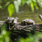Постер, плакат: The 3 Turtles