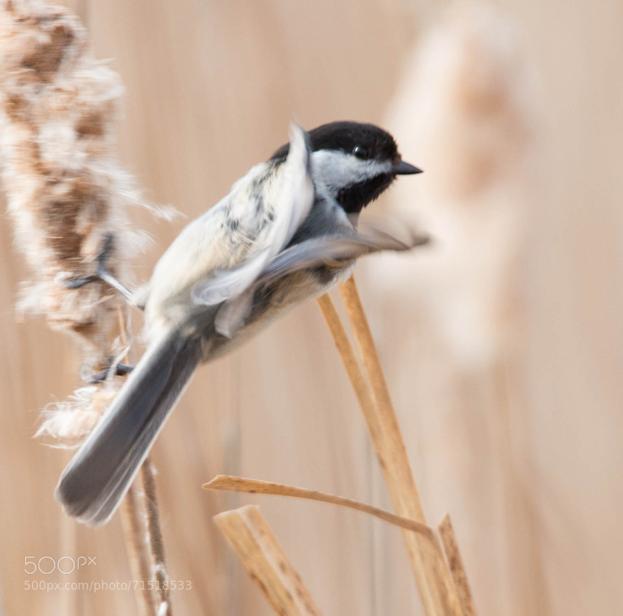 Chickadee lifting his wings in preparation for take off.