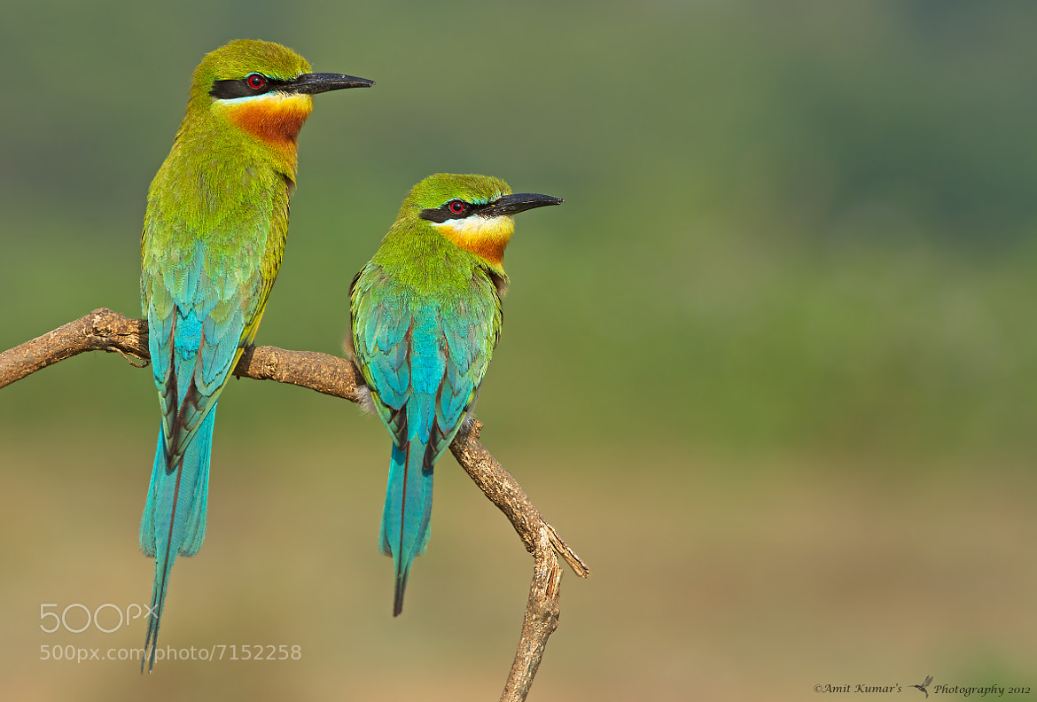 Photograph Blue-Tailed Bee Eater Pair by Amit Kumar on 500px