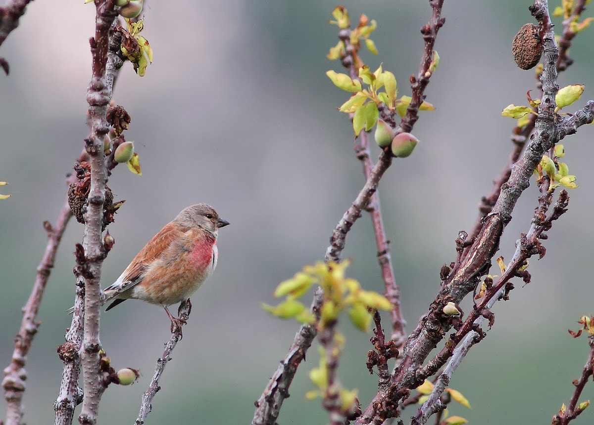 Photograph Linnet by Ivan Martini on 500px