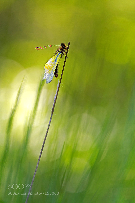 Photograph libelloides by sergio sberna on 500px