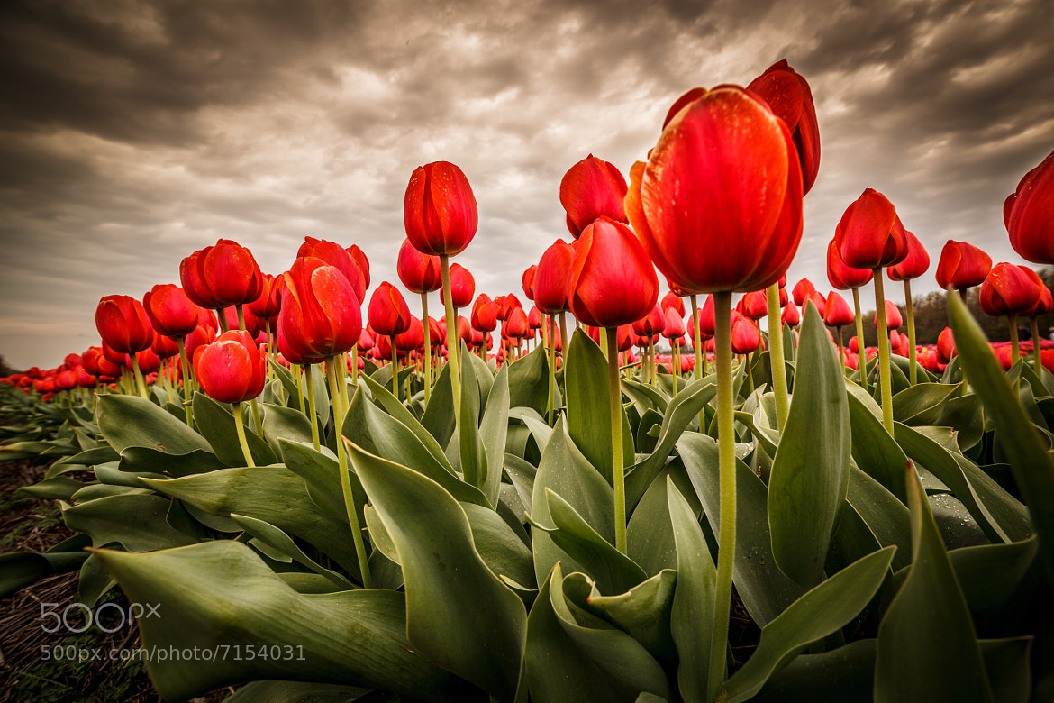 Photograph Red Tulips by Edwin van Wijk on 500px