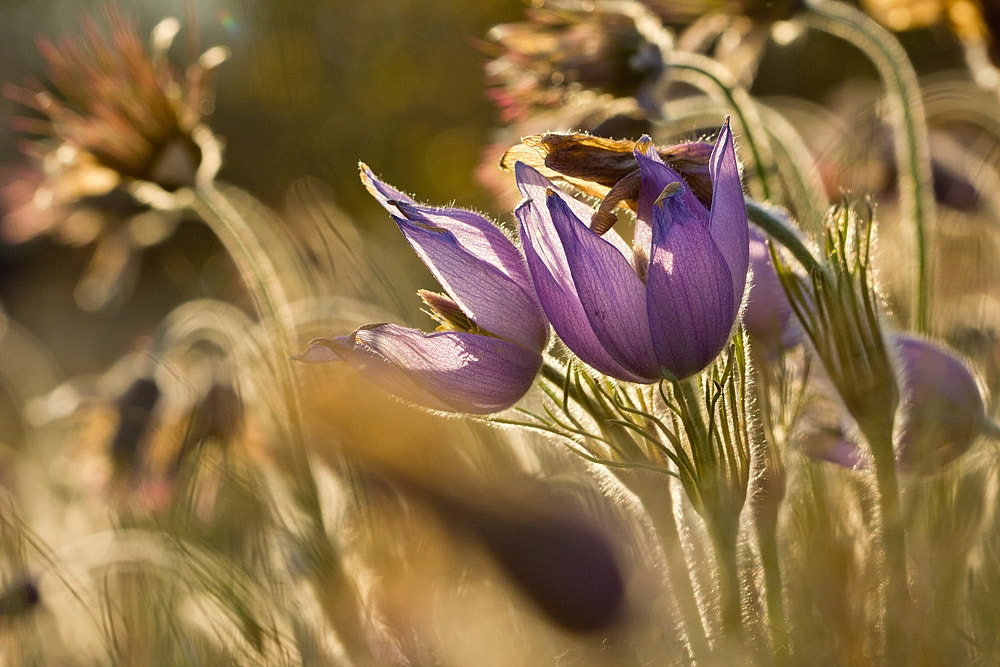 Photograph pasqueflower by Martin Florian on 500px