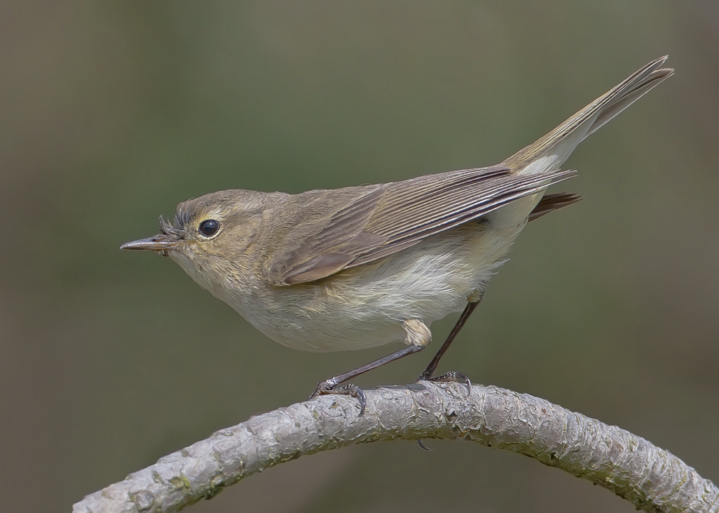 Photograph chiffchaff by TomMelton on 500px