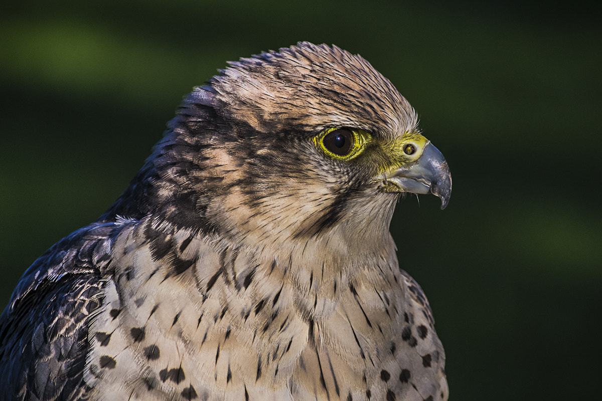 Photograph Falcon by Andy Butler on 500px