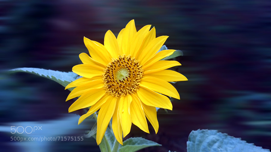 Photograph Sunflower by Yasir Fawad on 500px