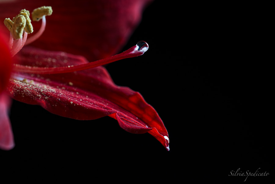 Red lily by Silvia Spedicato on 500px.com